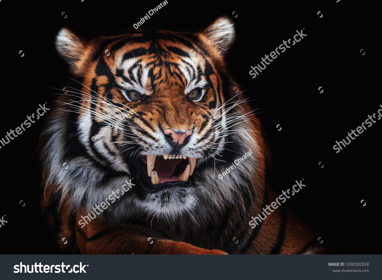 shutterstock tiger